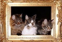 Samberkat Maine Coons / Maine Coon cats and kittens / by Stevie Stacy