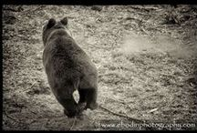 Photographie : Animaux Sauvages / #Photo d'#animaux #sauvage d'#Europe (#Loups, #Ours, #Cerfs, ...)