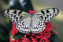 Butterflies / by Robin Tigli