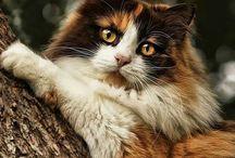 Skogkatt og andre katteraser
