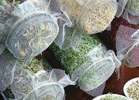 Microgreens | Hauptstadt Garten / Hier dreht sich alles um Sprossen und Keimlinge wie Sojasprossen, Chia Samen Sprossen, Mungobohnen, Radieschen, Kresse etc. Weiter gibt es auch DIY wie man sich Sprossgläser selber machen kann.