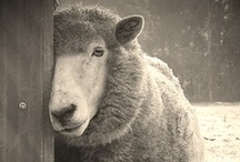 sheep / by Catherine R
