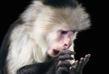 """Primates & monkeys / """"Chimpanzees, more than any other living creature, have helped us to understand that there is no sharp line between humans and the rest of the animal kingdom. It's a very blurry line, and it's getting more blurry all the time."""" Jane Goodall / by Linda Boag Moores"""