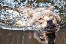 """WOLVES / Wolves fear humans for good reason. Humans fear wolves out of misunderstanding."""" -Jogn Theberge   / by Linda Boag Moores"""