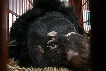 """The Plight of Moon Bears /  Asian black bears kept in captivity in China, South Korea, Laos and Vietnam to harvest bile, produced by the liver and stored in the gall bladder. Thousands of bears live a life of torture on, so their bile can be extracted and used in traditional medicine to cure ailments. Bears are confined in tiny """"crush"""", which causes terrible physical and mental suffering. They are kept in these cages for years and there is no room for movement.    / by Linda Boag Moores"""