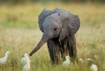 """Elephants / """"The question is, are we happy to suppose that our grandchildren may never be able to see an elephant except in a picture book?"""" - David Attenborough / by Linda Boag Moores"""