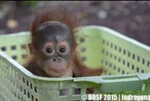 ORANGUTANS - ADOPT A BABY AND HELP SAVE THEM. / Nothing gives me more joy then the four orangutans that I foster.  A wonderful gift to give someone  who has everything.  Go to  www.redapes.org or http://www.orangutan.org.au/adopt_orphan_orangutan / by Linda Boag Moores
