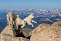 Fearless goats / Goats / by Linda Boag Moores
