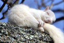 Albinism, Leucism and Melanistic / Albinism and Leucism are two similar conditions in animals characterized by reduced pigmentation. The difference is that Leucism, unlike albinism, is caused by a reduction in all types of skin pigment, not just melanin. Albino animals will have red eyes where as animals with Leucism will have lightly pigmented eyes, most often blue. Read more at http://www.viralnova.com/animals-with-albinism/#5zwPXyZsH27KGoLF.99 / by Linda Boag Moores