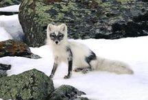 Foxy / Foxes / by Linda Boag Moores