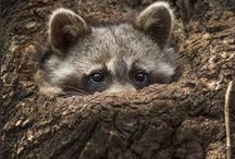 Bandits / -I'm not alone in thinking that raccoons are the carnies of the animal world. / by Linda Boag Moores