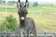 Donkeys, Mules and Burros / donkeys, mules and burros / by Linda Boag Moores