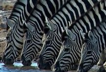 Zebras, Giraffes and Wildebeasts / Zebras, giraffes and wildebeasts / by Linda Boag Moores