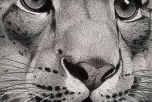 Tiger Zeichnung Bleistift