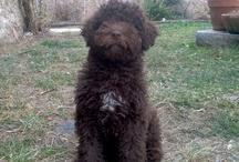 Xana / Tablon de esta perra turco andaluza, también conocida como perros de Agua.