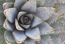 Nature Love: Succulents #52weeksofnatureart / Week 3 Inspiration board for of #ayearofnatureart | #52weeksofnatureart http://louisegale.com/a-year-of-nature-art/
