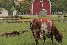 Moo / Cows