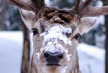 References - Cervidae / Everything in the deer family