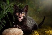 Lykoi Obsession / I love this breed!