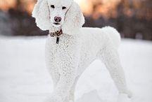 dσglσvє / All about dog, my love. #poodlelove #doglove