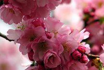 桜 sakura / 散り際が見応えあります。息苦しくなるような妖艶な美しさ、儚さ