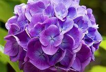 紫陽花 hydrangea / 西洋紫陽花の種類って多いんですね