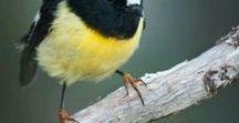 Nova Zelandia Aves Lindas
