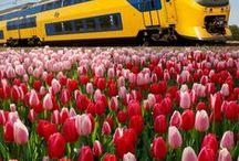 Tulipas na Holanda | All about tulips in the Netherlands / Tudo sobre tulipas na Holanda: onde encontrar campos de tulipas, campos de flores, quando visitar, como chegar, dicas e curiosidades. | All about tulips in the Netherlands: where to find tulip fields, flower fields, when to visit them, how to get there, tips and more. #amsterdam #tulipfields #primavera #spring #europe #bucketlist #holanda #netherlands