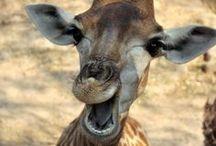 Giraffes!! / by Pam Randles