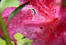 Hibiscus / The main ingredient use for Khavilhaan original