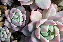 Succulents / by Jacque Williams