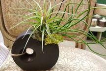 Tilandsias! (air plants)