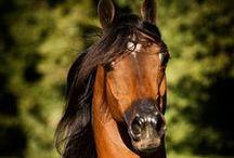 Kone / Frízske kone, arabské,anglické,andalúzke, palomino, ...