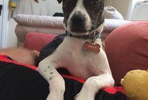 Piper / My Piper puppy  #adopt#ccasnj
