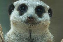 Suricati Meerkats