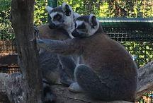 Lemuri Lemurs