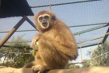 Gibboni Gibbons