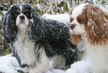 Cavalier King Charles Spaniels / The Cavalier King Charles Spaniel is one of the most popular breeds in the United Kingdom. The breed standard recognizes four colors: Blenheim, Black & Tan, Ruby and Tricolor [black/white/tan].