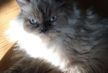 ≧✯◡✯≦ KITT¥'S ≧✯◡✯≦ / Thinking about my lovely girls Midnight, Gingerpuff & Pepper! meow! / by Jessica Martigani