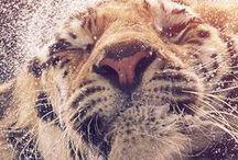 Liones & Tigers
