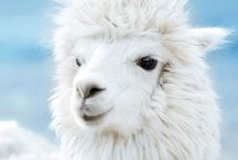 Animal - LAMA / This Board will help you immerse yourself in the wonderful animal world in which we draw inexhaustible inspiration for their work!