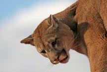 Пумы  и   др   кошки   природа / о диких  кошках    других  животных   природе