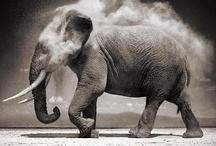 Animals - Elephant