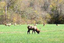 Smoky Mountain Wildlife