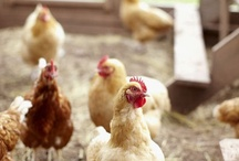 Chooks / by Produce to the People Tasmania