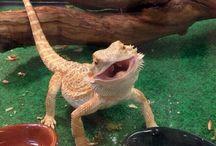 bearded dragon / My favourite animal EVER!!!!!