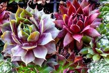 Succulents / by Bonnie Skubella