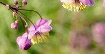 Garten Pflanzen / Herbaceous perennial