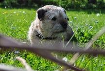 HENRY m♥ Border Terrier