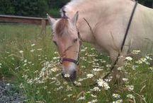Norwegian Fjords - my Sally / Introducing my Norwegian Fjord mare, Pumpkin Sally